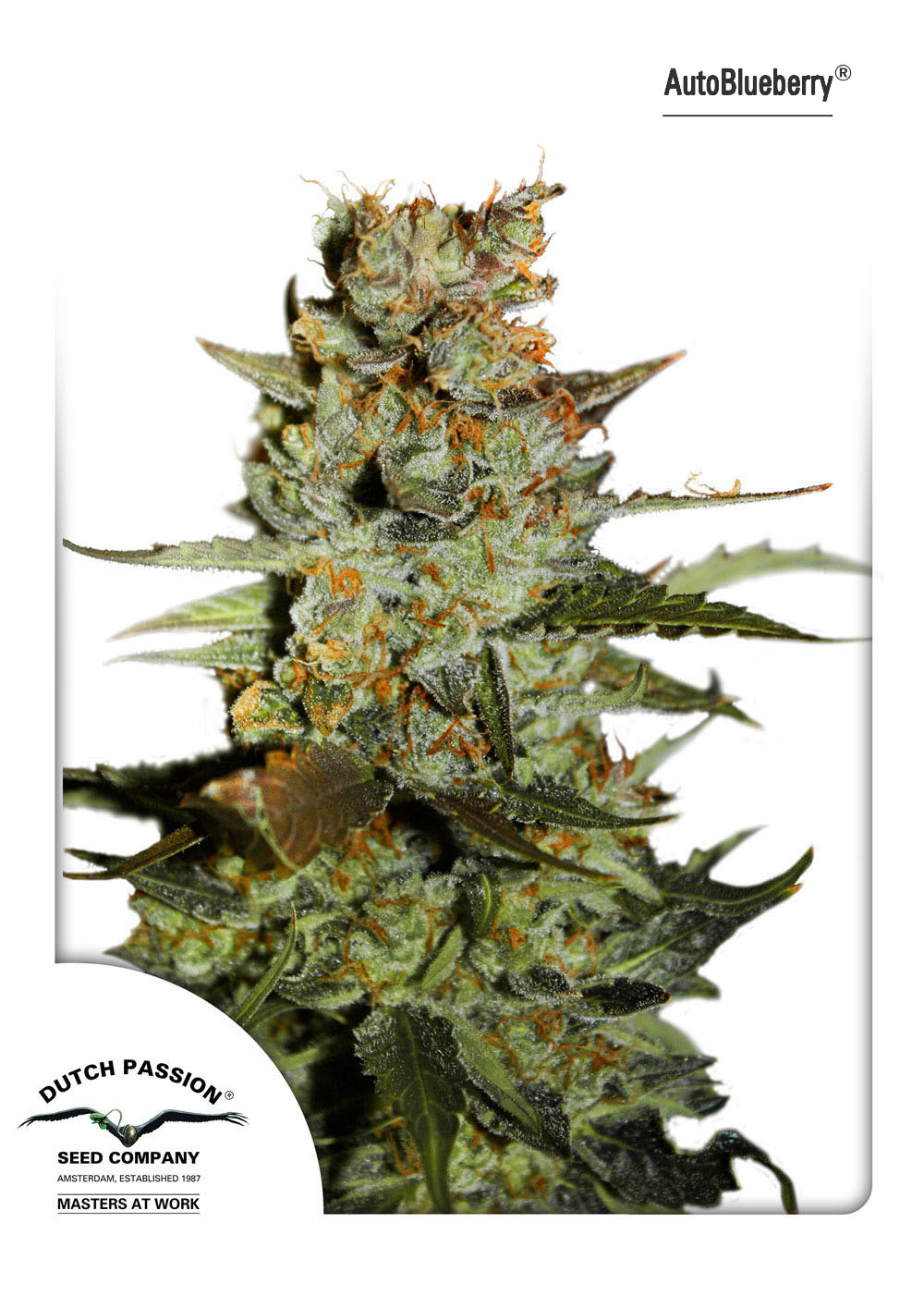 Recenzja Odmiany AutoBlueberry od Dutch Passion, Dutch Seeds