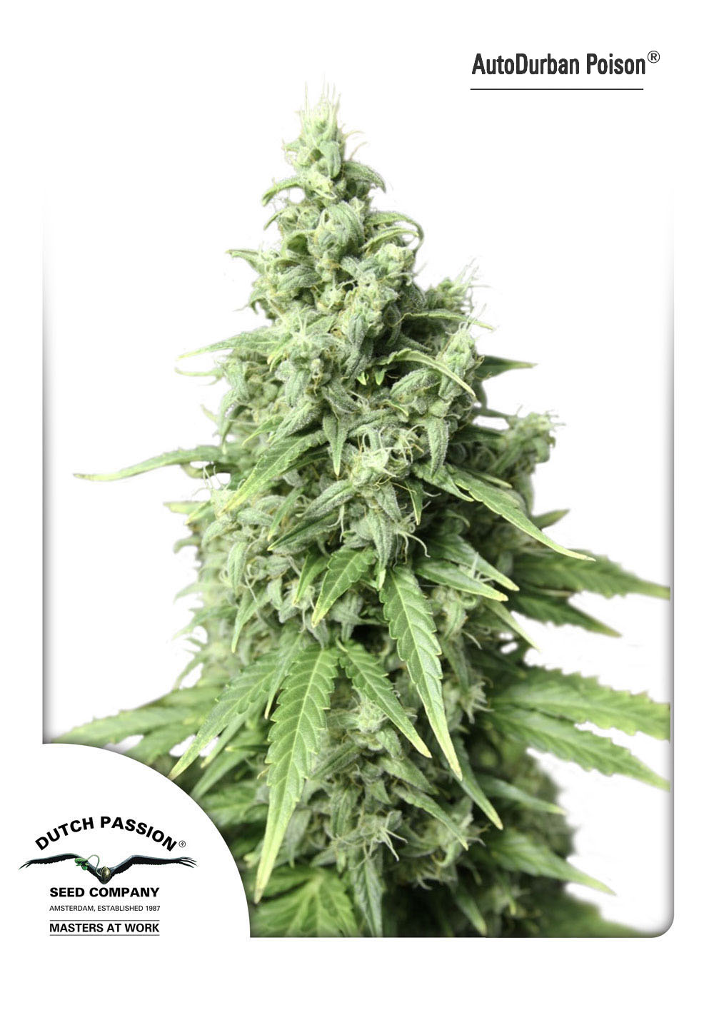 Recenzja Odmiany AutoDurban Poison od Dutch Passion, Dutch Seeds