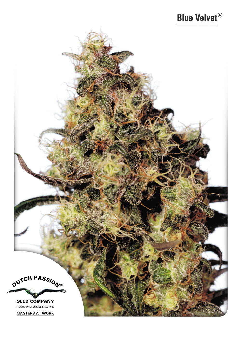 Recenzja Odmiany Blue Velvet od Dutch Passion, Dutch Seeds