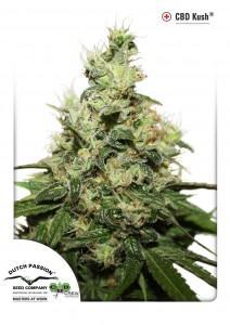 CBD Kush, Dutch Seeds