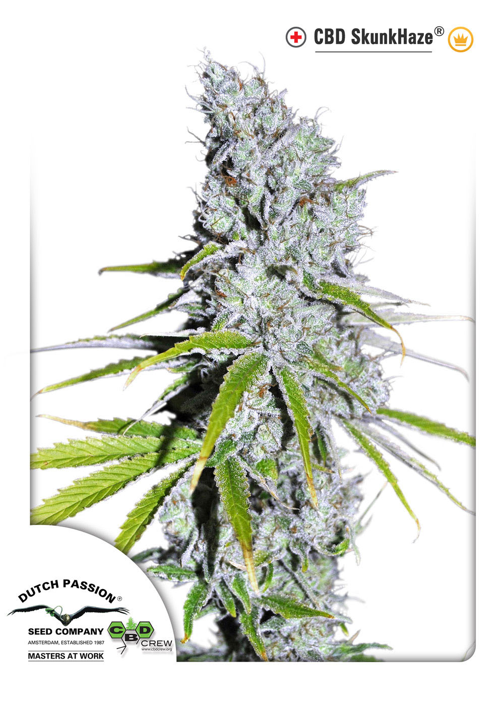 Recenzja Odmiany CBD SkunkHaze od Dutch Passion, Dutch Seeds