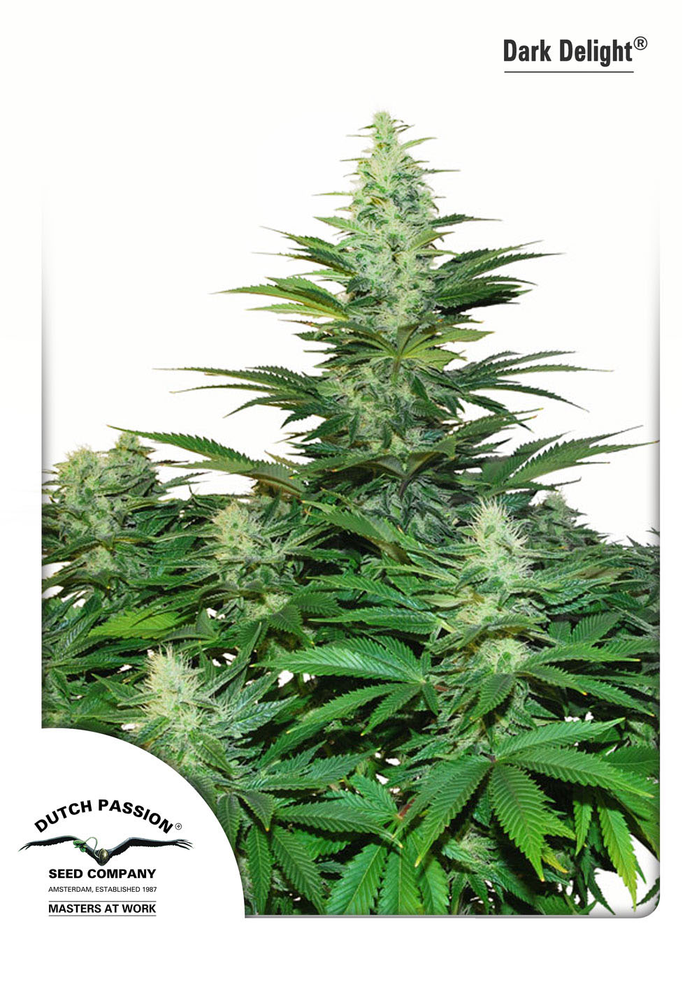 Recenzja Odmiany Dark Delight od Dutch Passion, Dutch Seeds