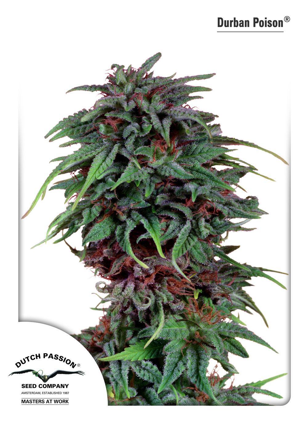 Recenzja Odmiany Durban Poison® od Dutch Passion, Dutch Seeds