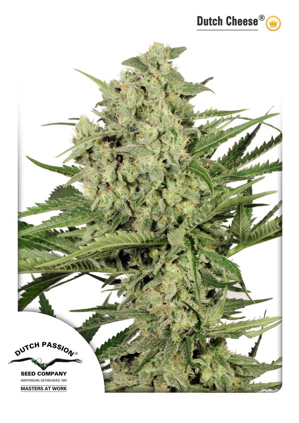 Recenzja Odmiany Dutch Cheese od Dutch Passion, Dutch Seeds