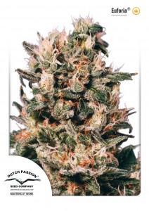Euforia®, Dutch Seeds