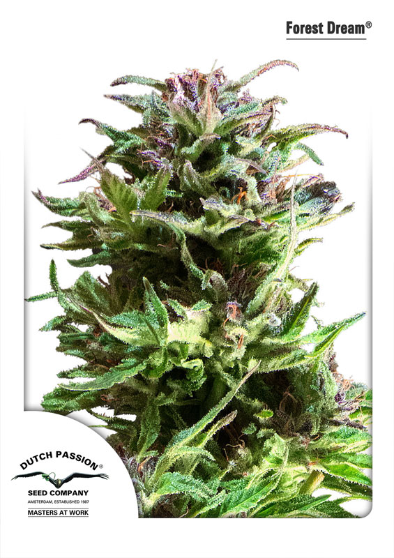 Recenzja Odmiany Forest Dream od Dutch Passion, Dutch Seeds