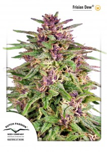 Frisian Dew®, Dutch Seeds