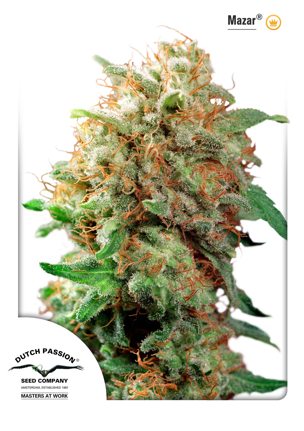 Recenzja Odmiany Mazar od Dutch Passion, Dutch Seeds