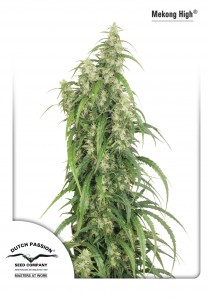 Mekong High®, Dutch Seeds