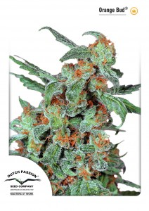 Orange Bud®, Dutch Seeds