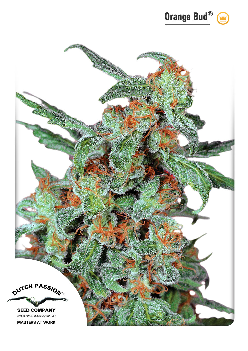 Recenzja Odmiany Orange Bud od Dutch Passion, Dutch Seeds