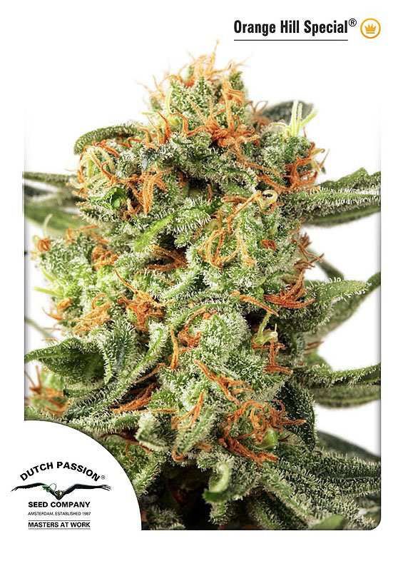 Recenzja Odmiany Orange Hill Special od Dutch Passion, Dutch Seeds