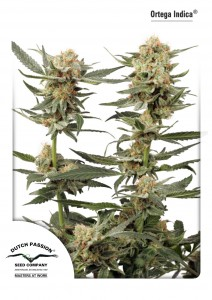 Ortega Indica®, Dutch Seeds