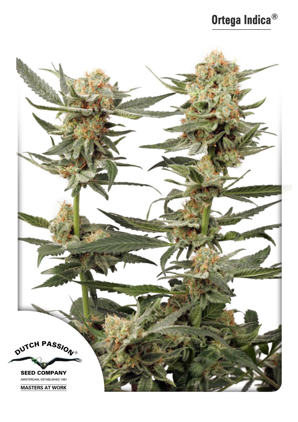 Recenzja Odmiany Ortega Indica od Dutch Passion, Dutch Seeds