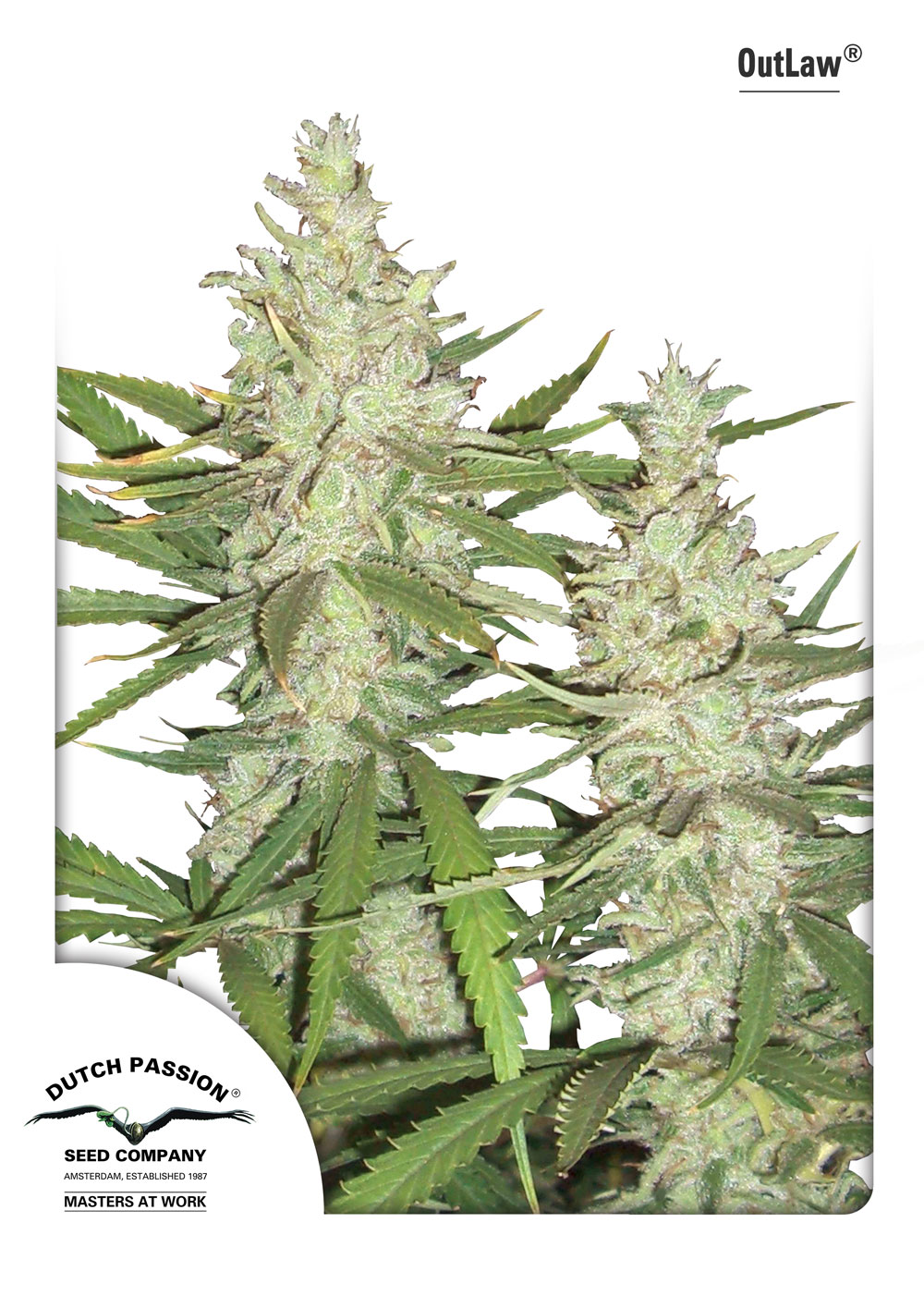 Recenzja Odmiany OutLaw od Dutch Passion, Dutch Seeds