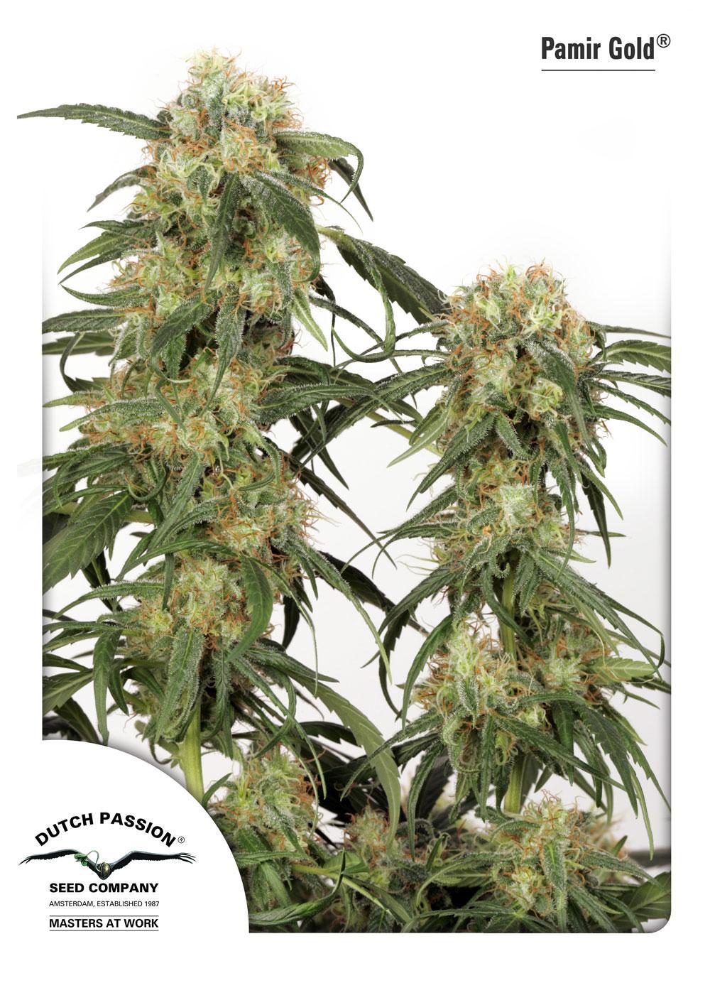 Recenzja Odmiany Pamir Gold® od Dutch Passion, Dutch Seeds