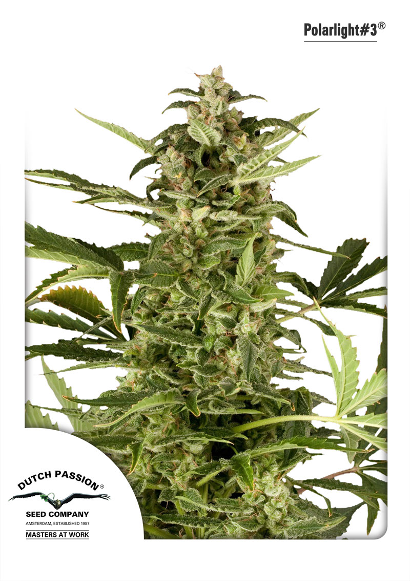Recenzja Odmiany PolarLight#3 od Dutch Passion, Dutch Seeds