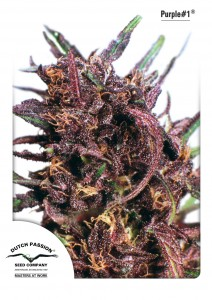 Purple#1®, Dutch Seeds