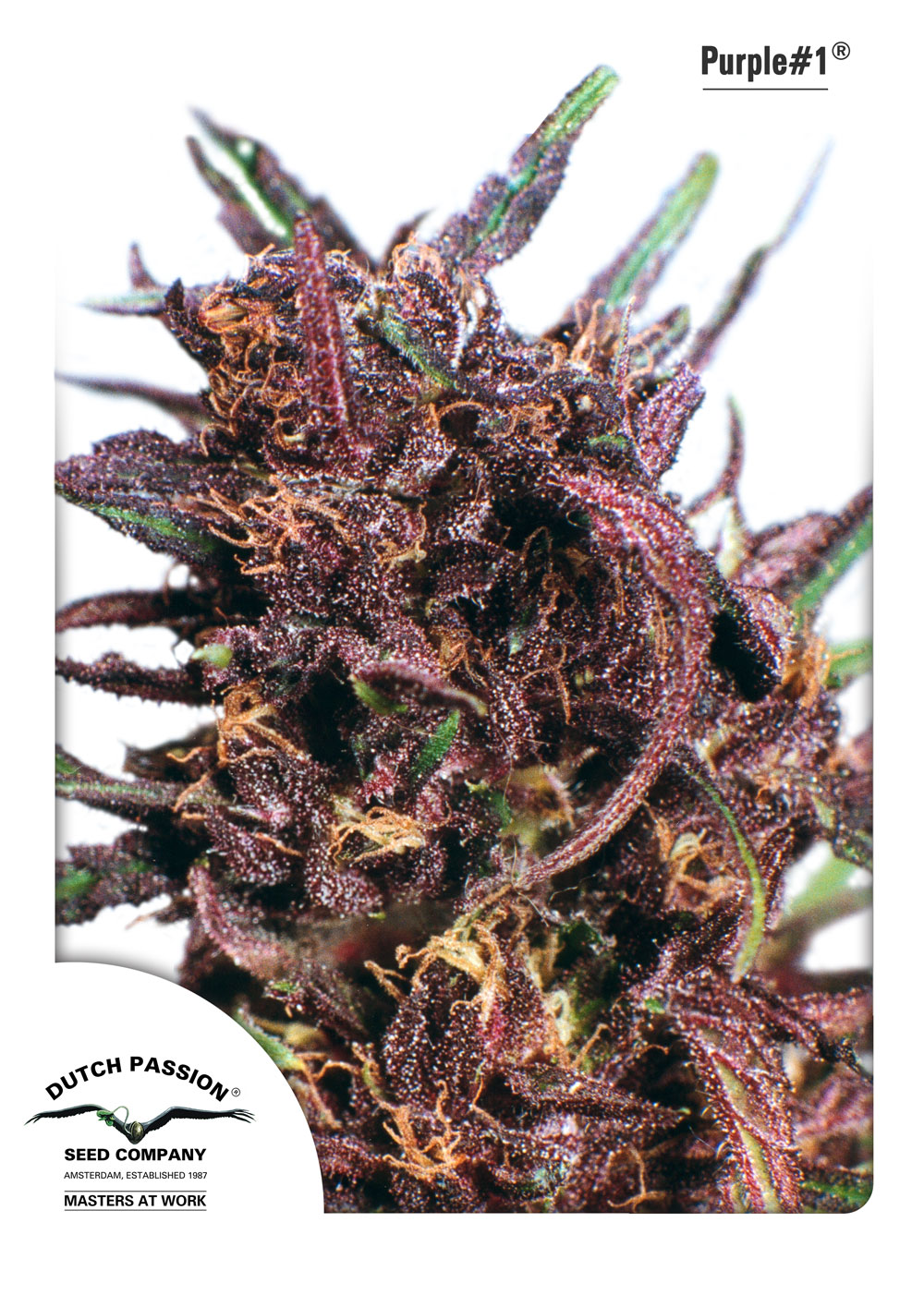Recenzja Odmiany Purple#1 od Dutch Passion, Dutch Seeds