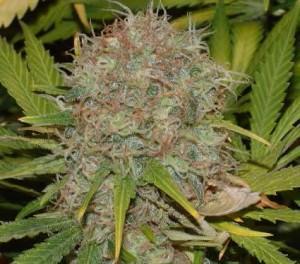 Skąd Przywędrował Skunk, Historia Współczesnej Marihuany, Dutch Seeds