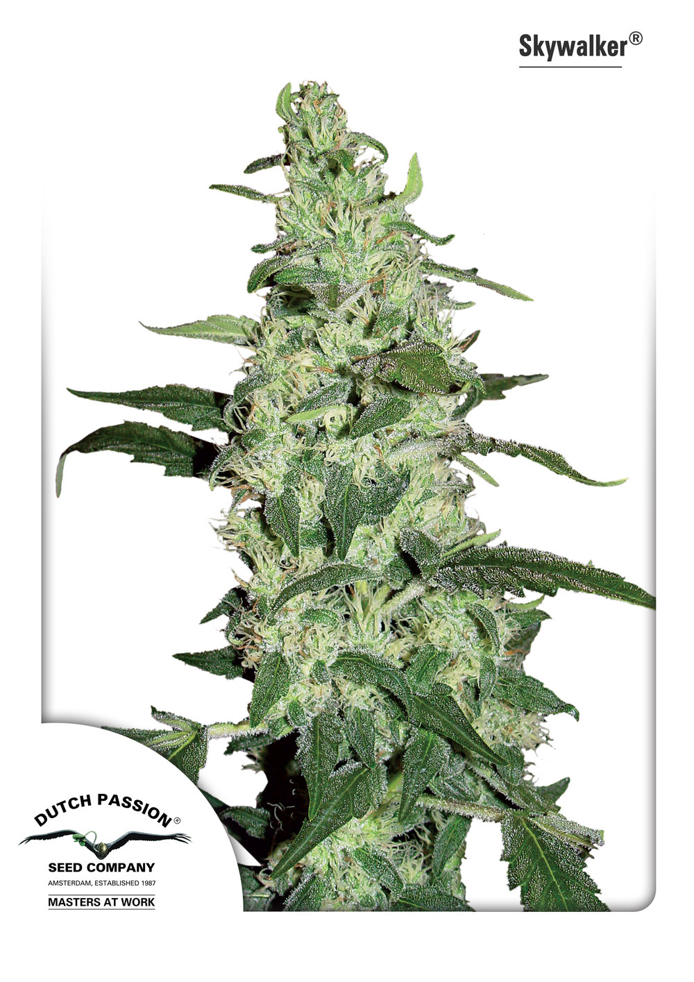 Recenzja Odmiany Skywalker od Dutch Passion, Dutch Seeds
