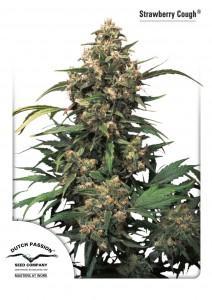 Strawberry Cough®, Dutch Seeds