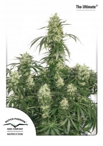 The Ultimate®, Dutch Seeds