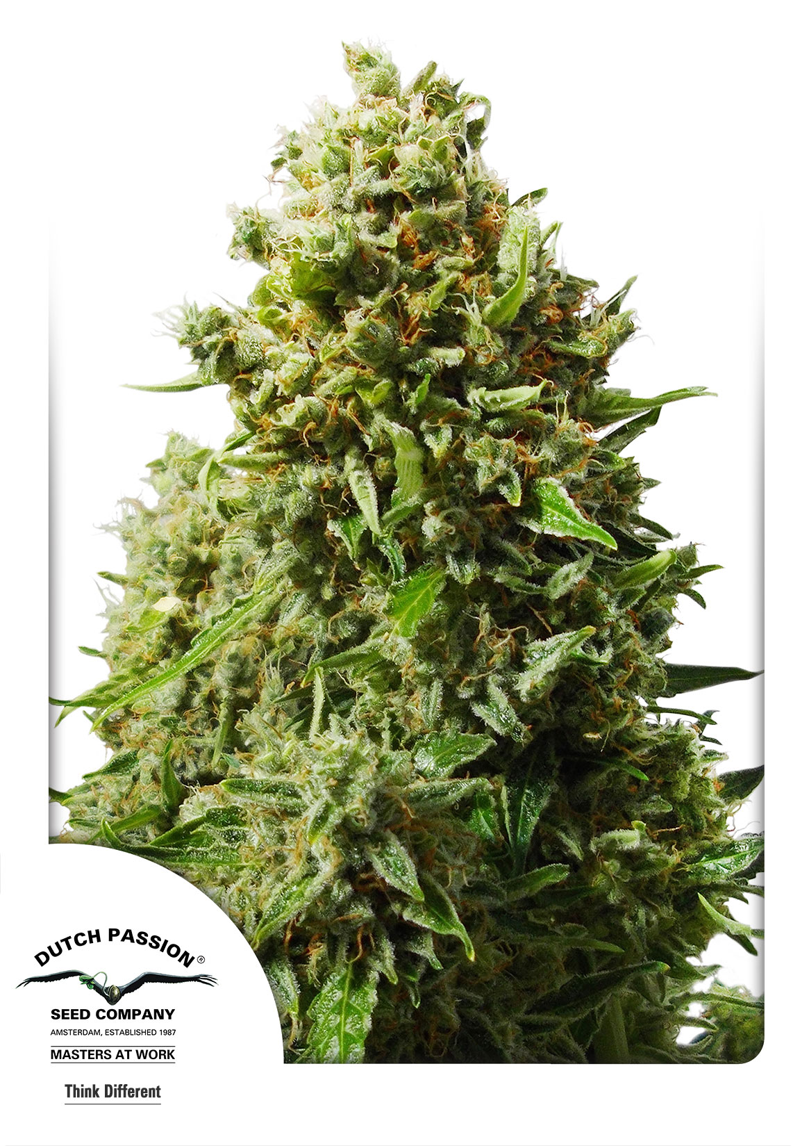 Recenzja Odmiany Think Different od Dutch Passion, Dutch Seeds