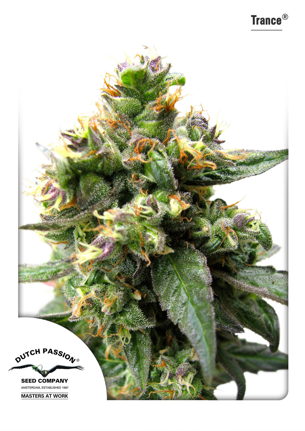 Recenzja Odmiany Trance od Dutch Passion, Dutch Seeds