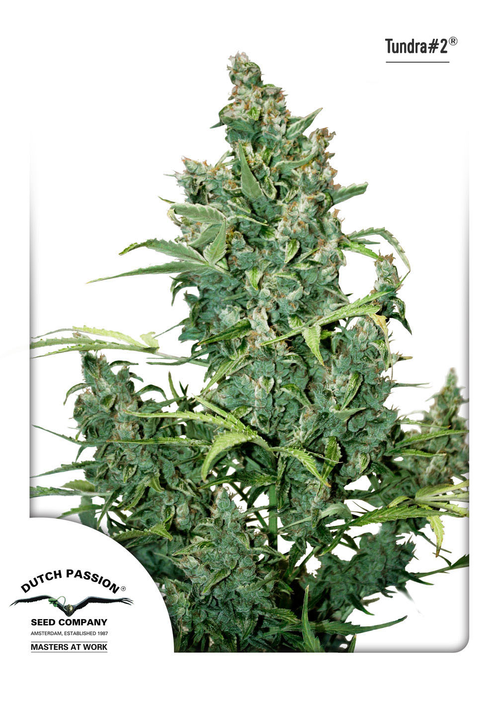 Recenzja Odmiany Tundra#2 od Dutch Passion, Dutch Seeds