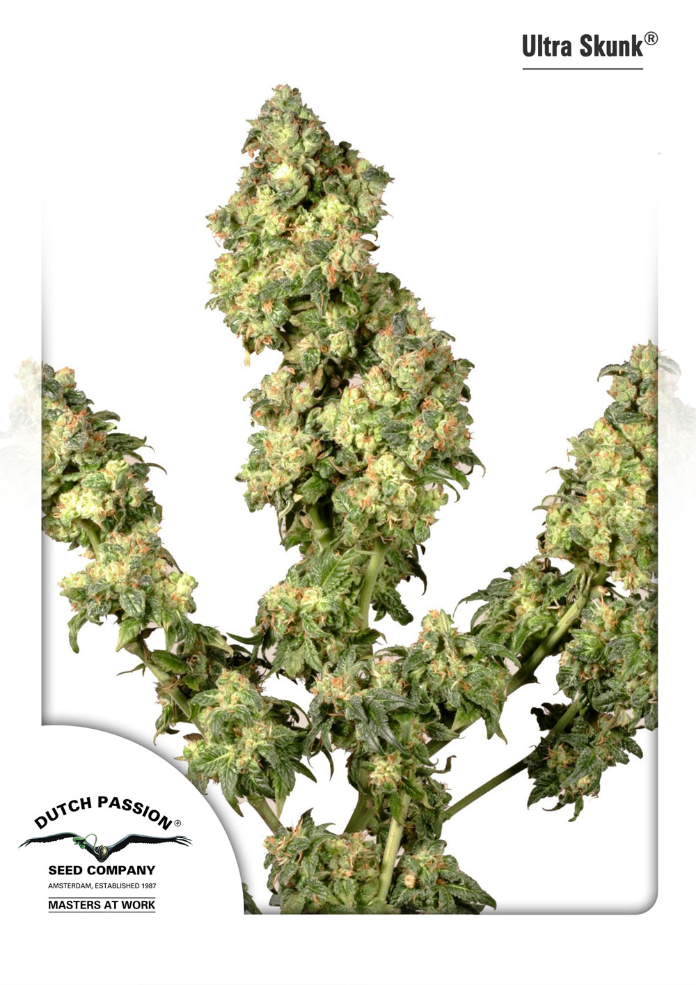 Recenzja Odmiany Ultra Skunk od Dutch Passion, Dutch Seeds