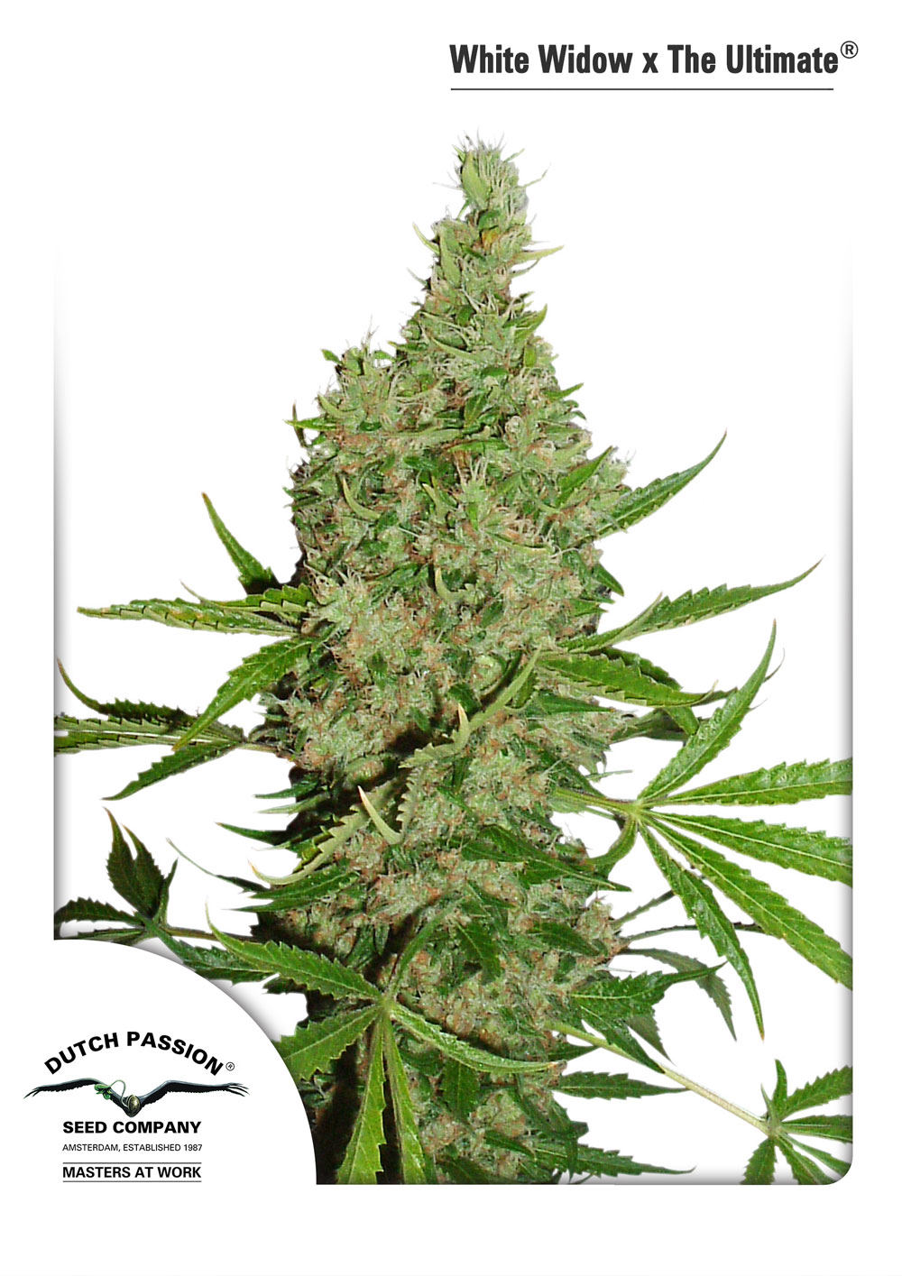 Recenzja Odmiany White Widow X The Ultimate® od Dutch Passion, Dutch Seeds