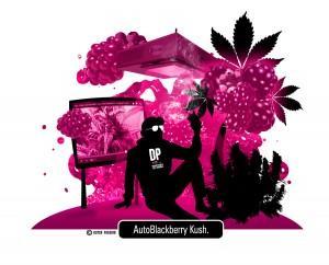 Recenzja Dutch Passion AutoBlackberry Kush, Uprawa z lampami, Dutch Seeds