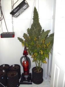 Uprawa Indoor AutoUltimate Przy Użyciu Podłoża z Ziemi i LED, Dutch Seeds