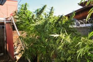 Frisian Dew – Silna Odmiana Konopi Do Uprawy Outdoor, Dutch Seeds
