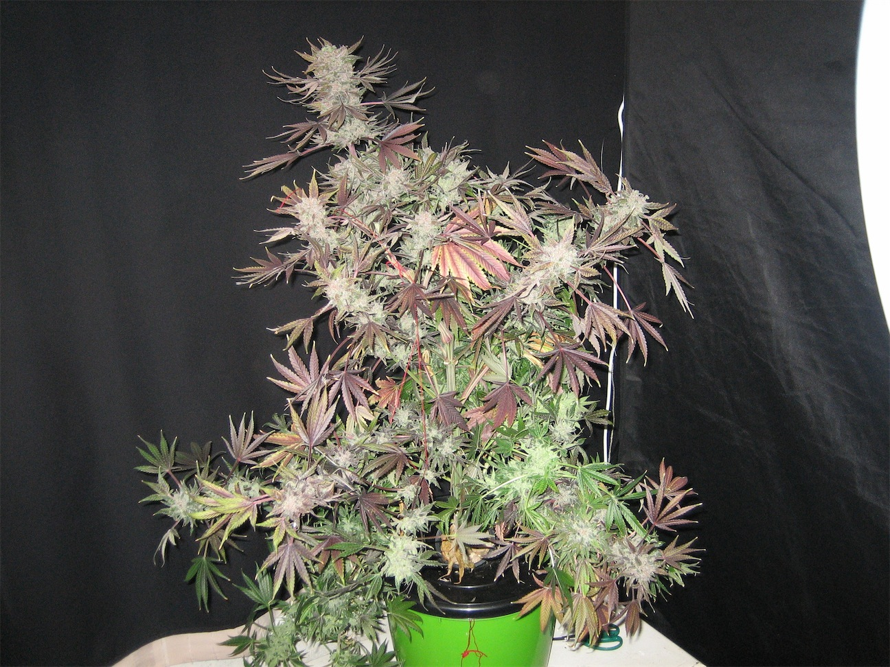 Recenzja Uprawy Orange Hill Special   Dutch Passion, Dutch Seeds