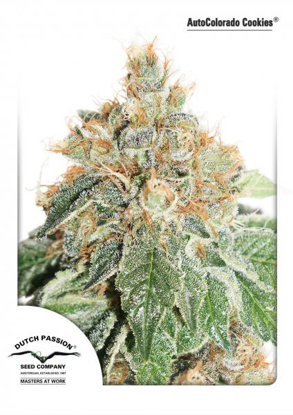 Recenzja Odmiany AutoColorado Cookies od Dutch Passion, Dutch Seeds
