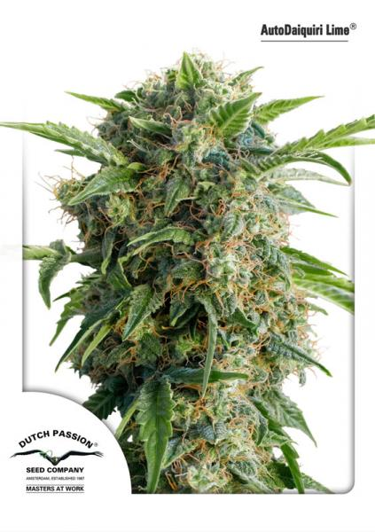 Recenzja Odmiany AutoDaiquiri Lime od Dutch Passion, Dutch Seeds
