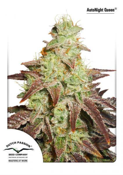 Recenzja Odmiany AutoNight Queen od Dutch Passion, Dutch Seeds