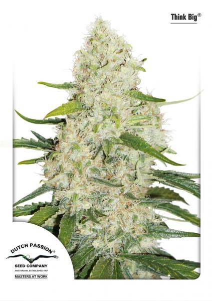 Recenzja Odmiany Think Big od Dutch Passion, Dutch Seeds