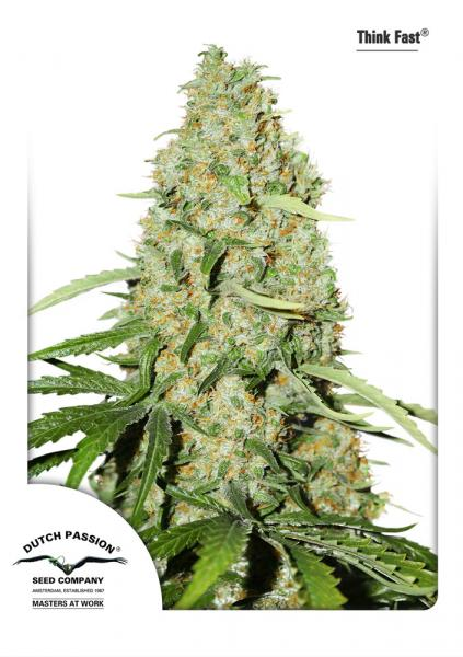 Recenzja Odmiany Think Fast od Dutch Passion, Dutch Seeds