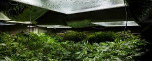 Kannabis dominuje europejski rynek narkotykowy, Dutch Seeds