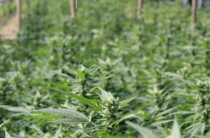 marihuana-konsumpcja-wady-zalety-1