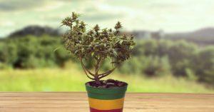 Jak zrobić bonsai z marihuany?, Dutch Seeds