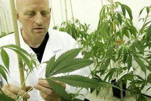 Niemcy: konsultacje w sprawie medycznej marihuany w sejmie, Dutch Seeds