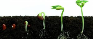 Przebieg rozwoju marihuany, Dutch Seeds
