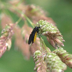 Uprawa konopi i szkodniki   Ziemiórkowate, Dutch Seeds