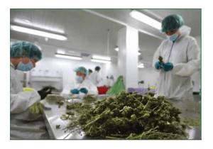 Kanadyjski cannabis dla niemieckich pacjentów, Dutch Seeds