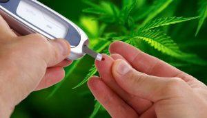 Cukrzyca i słodki efekt cannabisu, Dutch Seeds