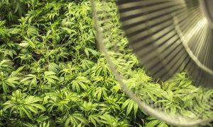 Po powodzi odkryto 2,5 tony marihuany, Dutch Seeds